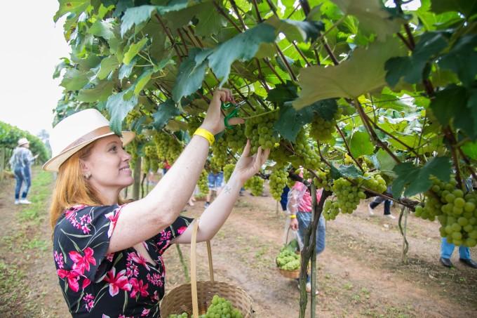 Cacá Filippini participa de colheita de uva