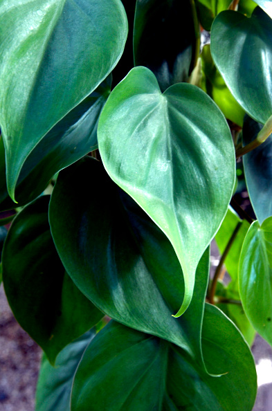 Pacová Philodendron at Sturtz & Copeland in Boulder, Colorado.(Photo by Paul Aiken/Digital First Media/Boulder Daily Camera via Getty Images)