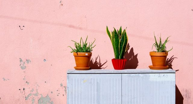 green-golden-snake-plant-and-two-aloe-vera-plants-1549201 (1)