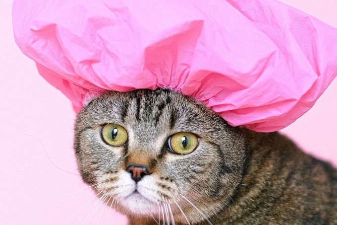brown-tabby-cat-wearing-shower-cap-4587959
