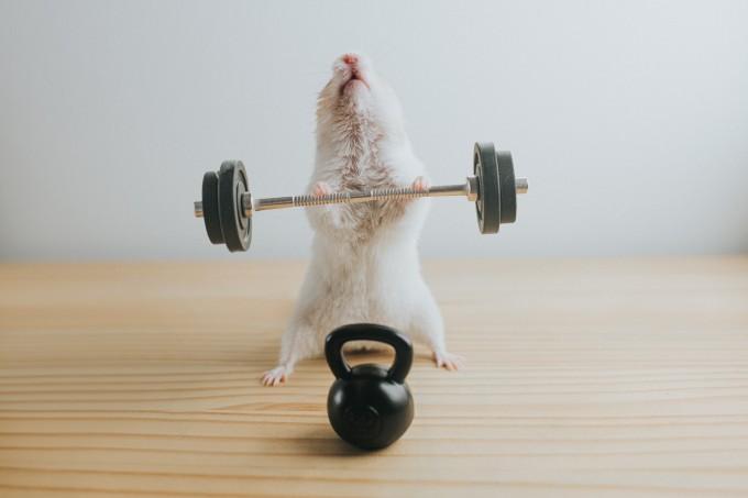 Weightlifting Hamster